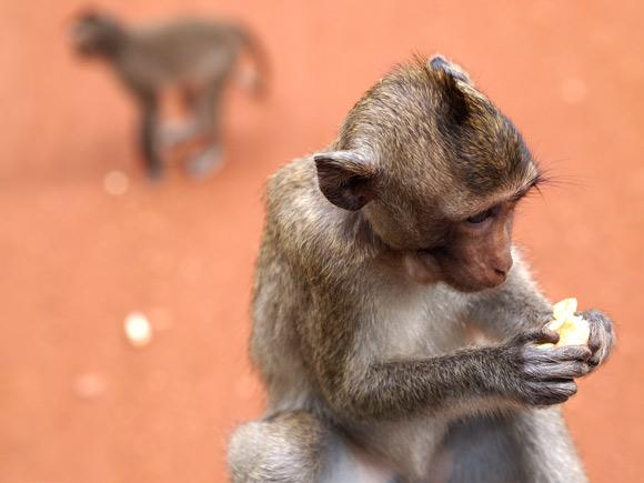ankor-monkey