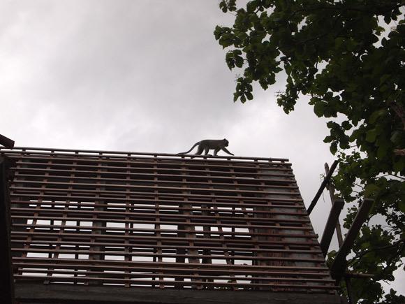 kratie-monkey