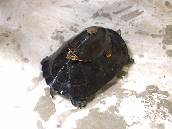 kratie-schildpadden