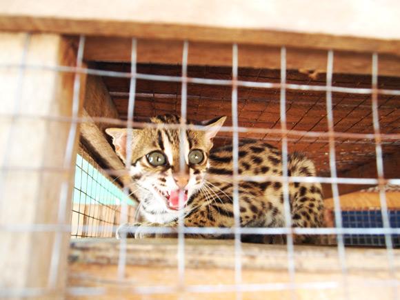 leopard-cat-2