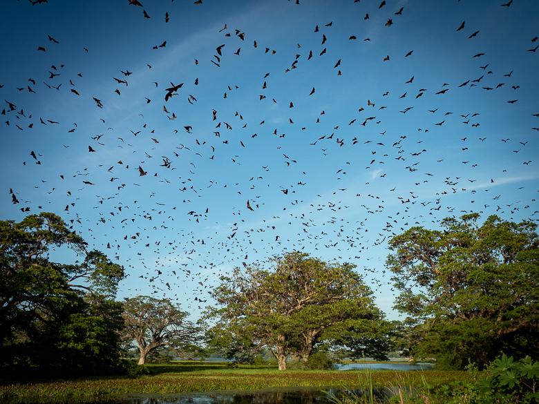 Sri Lanka: Tissamaharama: het vleermuizen luchtballet en 'the big four' van Yala National Park